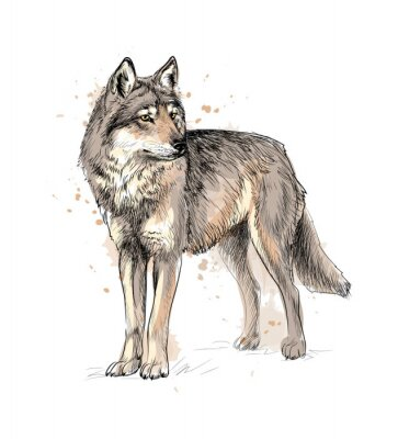 Poster Portrait of a wolf from a splash of watercolor, hand drawn