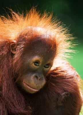 Portrait of a young orangutan
