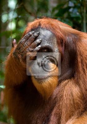 Portrait of an orangutan. Borneo.