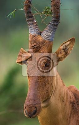 Portrait of antelope. Funny picture. Uganda.