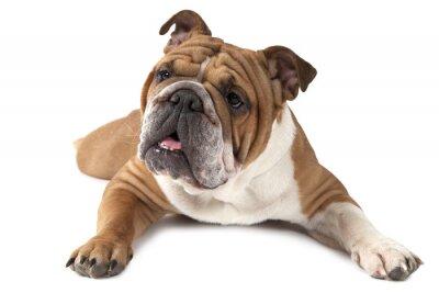 Poster Portrait von reinrassigen Englisch Bulldog auf weißem Hintergrund
