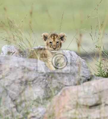 Porträt des afrikanischen Löwen