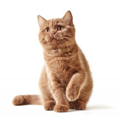 Poster Porträt des britischen Kätzchen