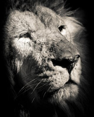 Poster Porträt des Löwen - Schwarz-Weiß-Foto