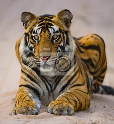 Porträt einer Bengal-Tiger. Indien.
