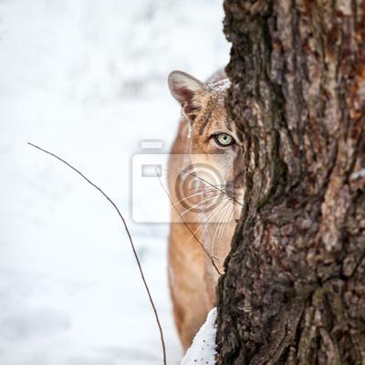 Poster Porträt eines Cougar, Berg Löwen, Puma, Cougar hinter einem Baum.