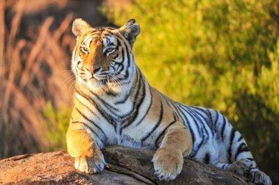 Poster Porträt eines Tiger