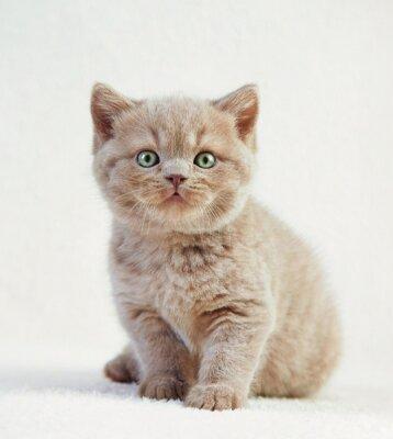 Poster Porträt von britischen Kurzhaar Kätzchen