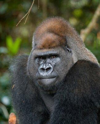 Porträt von Tiefland-Gorilla. Republik Kongo. Eine ausgezeichnete Illustration.