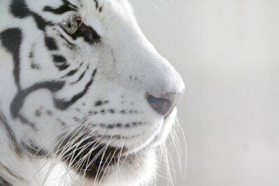 Poster Porträt Weißer Tiger