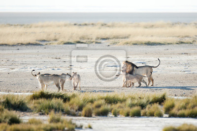 Pride of lions in Etosha National Park, Namibia.