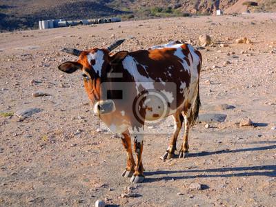 Pygmäen-Kuh in der Nähe Salalah - Sultanat Oman