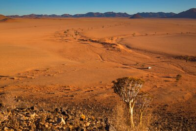 Quiver tree and dry river bed in the Namib Desert