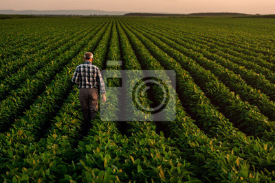 Poster Rear view of senior farmer standing in soybean field examining crop at sunset.