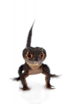 Poster Red-eyed Krokodil skinks, tribolonotus gracilis, auf weiß
