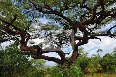 Regenschirmakazie in Tansania, Afrika