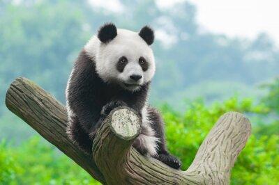 Poster Riesen Pandabär Klettern im Baum