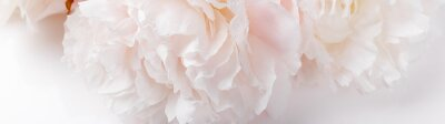 Poster Romantic banner, delicate white peonies flowers close-up. Fragrant pink petals