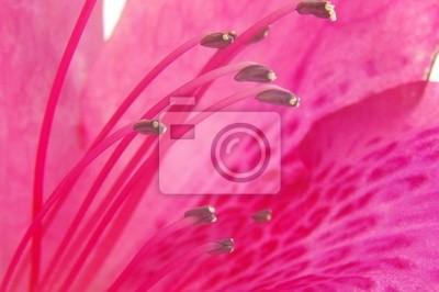 rosa Azalee