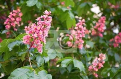 Rosa blühenden Kastanien