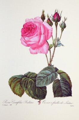 Poster Rosa centifolia bullata / Rose à feuilles de laitue