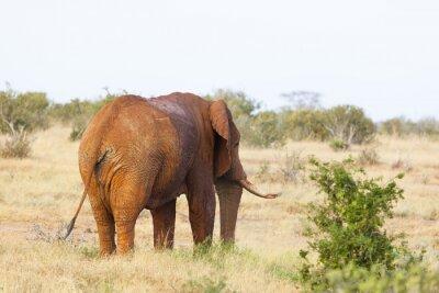 Poster Roter afrikanischer Elefant in Kenia