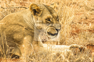 Ruggito di leonessa