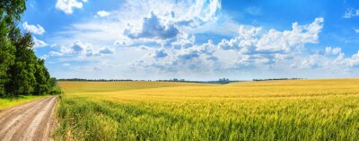Poster Rural landscape, panorama, banner - field of young wheat and country road in the rays of the summer sun
