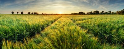 Poster Rural landscape with wheat field on sunset