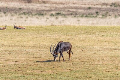 Sable antelope bull, Hippotragus niger, grazing