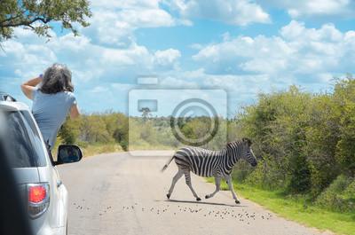Safari in Afrika, Frau machen Zebra Foto aus dem Auto, Reisen in Kenia, Savanne Tierwelt und Tiere