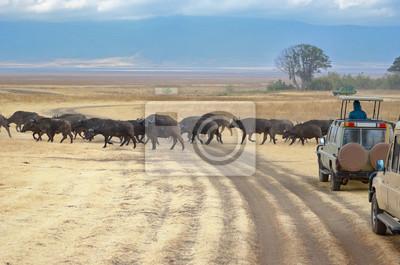 Safari in Afrika, Touristen in Jeeps beobachten Büffel über Straße in Savanne des Kruger Nationalparks, Wildtiere in Südafrika