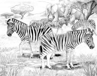 Poster Safari - Zebras - Malvorlagen
