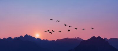 Poster Sandhill Cranes flying across pink clear sky