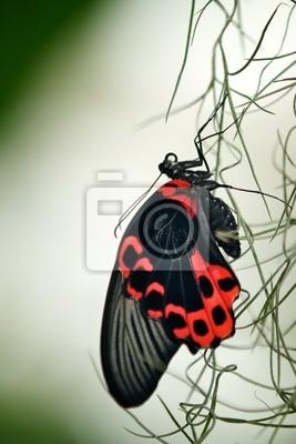 Scarlet Schwalbenschwanz Schmetterling