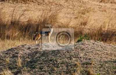 Schakal auf afrikanische Savanne
