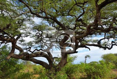 Schirmakazie in Tansania, Afrika