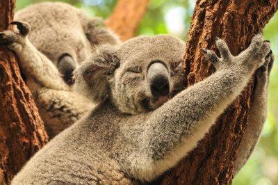 Poster Schlafen Koalas