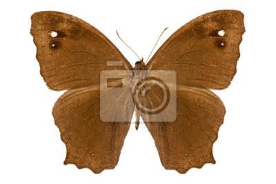 "Schmetterlingsarten Melanitis leda ""Common Abend Brown"""