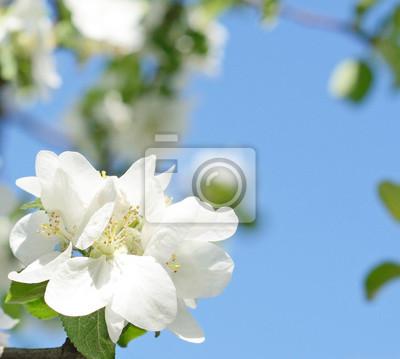 Schöne Apfelblüten gegen den Himmel an einem sonnigen Tag in sprin
