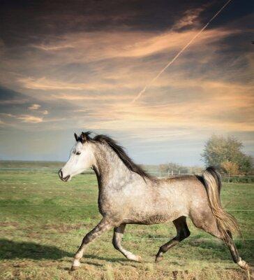 Poster Schöne graue Hengst Pferd läuft auf dem losen über Weide Hintergrund
