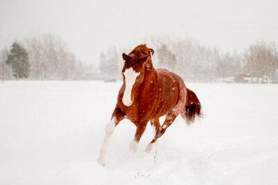 Poster Schöne Kastanie Pferd läuft im Schneefeld frei