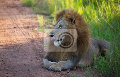Schöne Löwe auf der afrikanischen Straße
