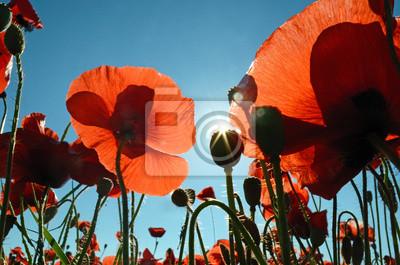 Schöne Mohnblumen in der Sonne gegen den Himmel