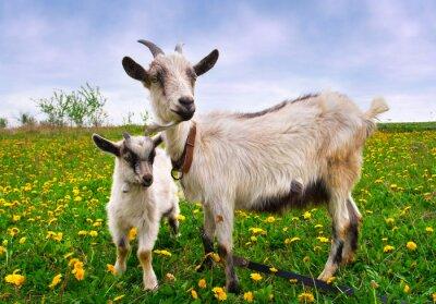Schöne Sommerlandschaft mit einer Ziege und Zicklein