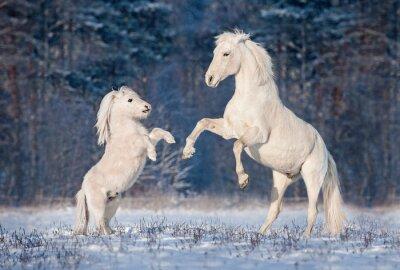 Poster Schöne weiße andalusischen Hengst spielen mit kleinen shetland Pony im Winter