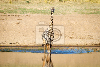 Schöne Wildlife in South Luangwa, Sambia, Afrika