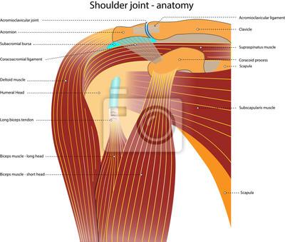 Schultergelenk - anatomie - mit bezeichnung wandposter • poster ...