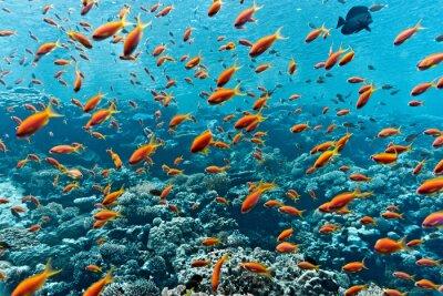 Poster Schwarm der Anthiasfische auf dem Korallenriff