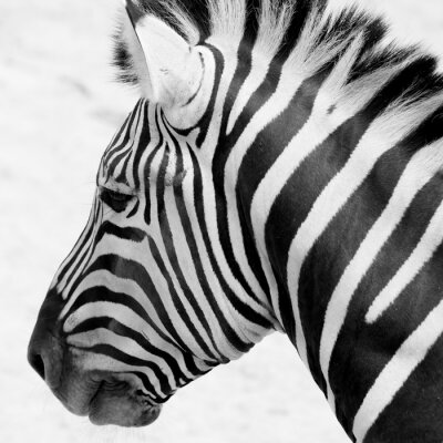 Poster Schwarz und weiß Zebra